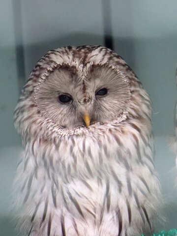 Owl №45218