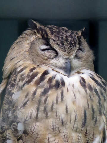 Owl asleep №45226