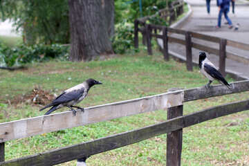 Crows on the fence №45971