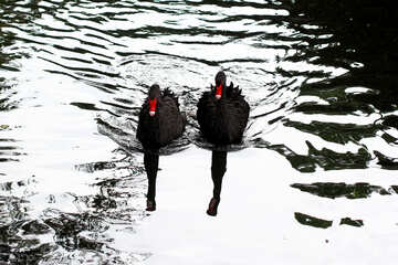 Black swan on the water №45957