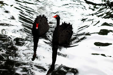 Black swan on the water №45959