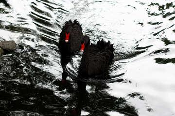 Black swan on the water №45961