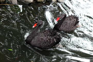 Black swan on the water №45966