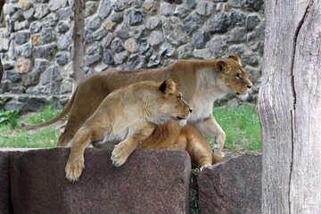 Lioness №45473