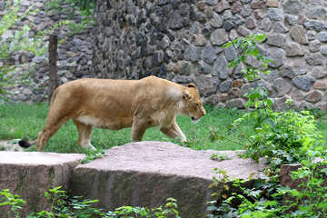 Lioness №45498