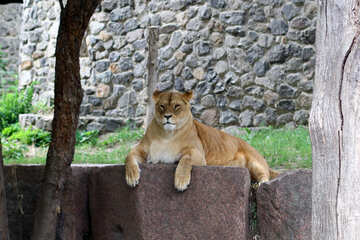 Lioness looking №45443