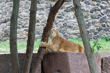 Lioness playing №45435
