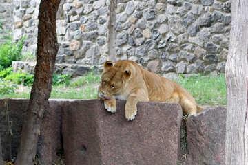 Lioness resting №45466