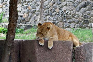 Lioness resting №45467