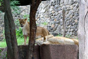 Lioness resting №45468