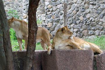 Lioness resting №45469