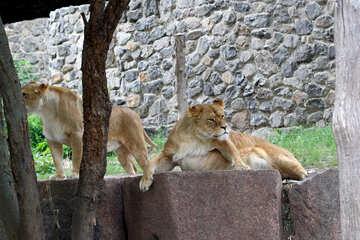 Lioness resting №45470