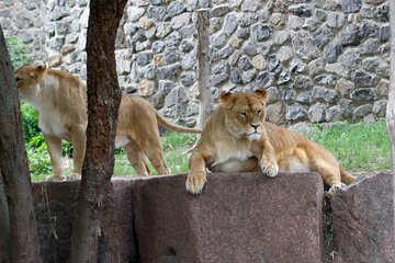 Lioness resting №45471
