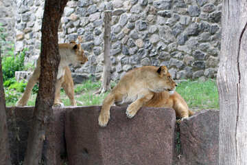 Lioness resting №45472