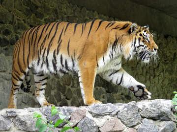 Beautiful tiger №45001