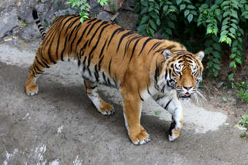 Beautiful tiger №45598