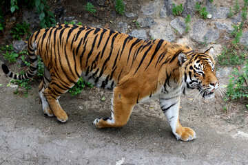Beautiful tiger №45599