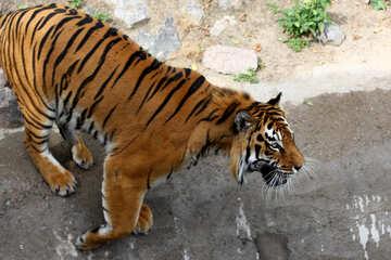 Beautiful tiger №45607