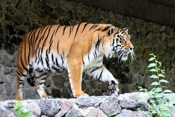 Beautiful tiger №45610