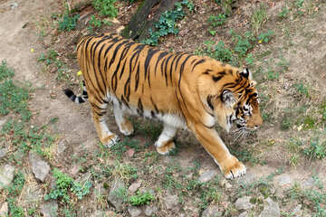 Going tiger №45747