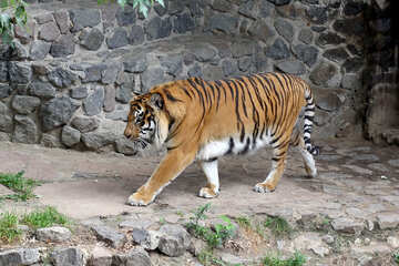 Going tiger №45748