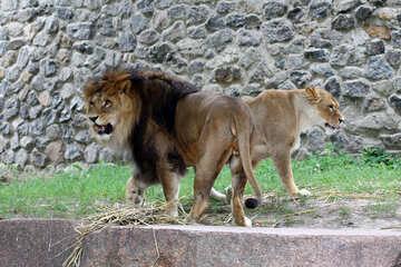 A lion №45494