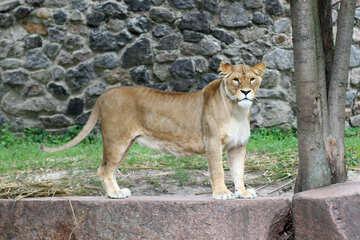 Lioness №45474