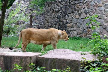 Lioness №45497