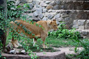 Lioness №45500
