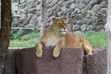 Lioness resting №45476
