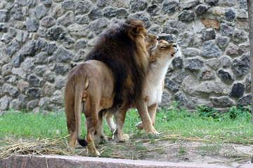 Lions №45488