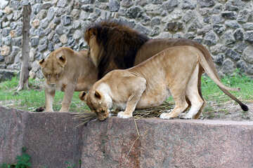 Lions Family №45482