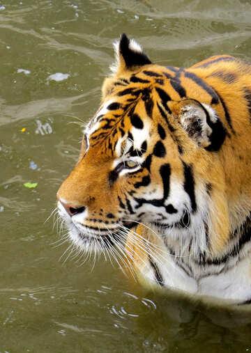 Tiger №45020