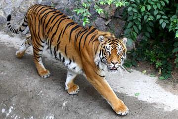 Tiger №45597