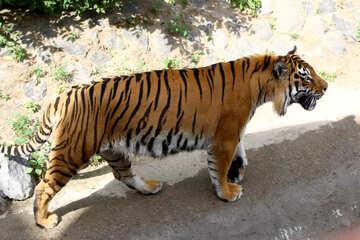Tiger №45601