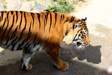 Tiger №45602