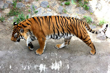 Tiger №45603
