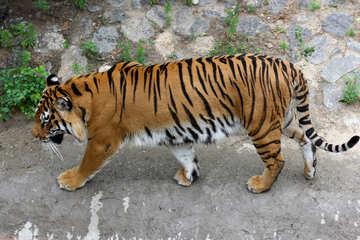Tiger №45604
