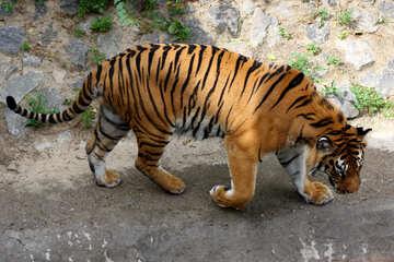 Tiger №45606