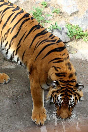 Tiger №45608