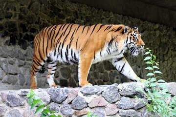 Tiger №45611