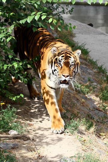 Tiger №45612