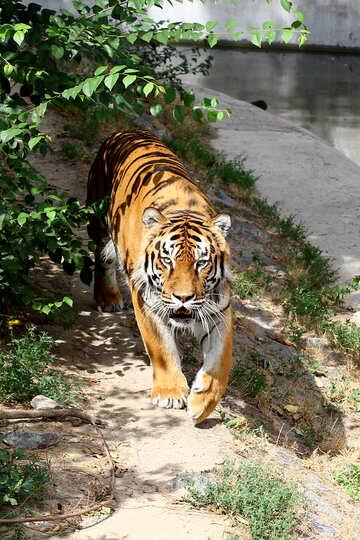 Tiger №45613