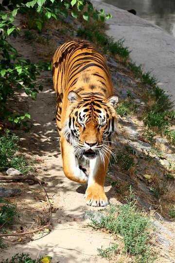 Tiger №45614