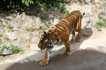 Tiger №45616