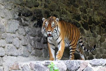 Tiger №45621