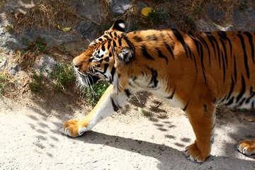 Tiger №45629