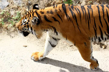 Tiger is №45630
