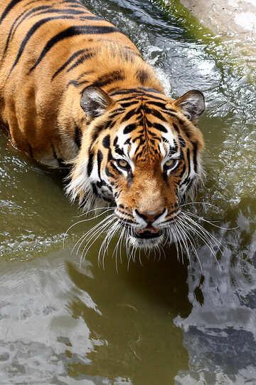 Tiger №45654