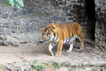 Tiger №45764